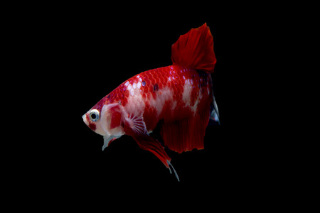 half moon tail: Red cute Betta fish, short tail half moon siamese fighting fish or Koi fighting fish on black background isoated