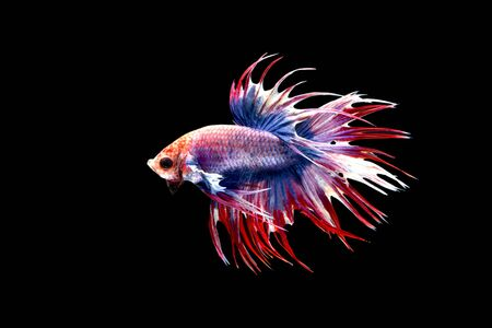 Tricolor, blue, red, white fighting fish