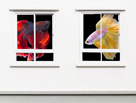 Betta fish, red siamese fight fish and yellow gold betta fish on black background in two windows of modern building resident Stock Photo