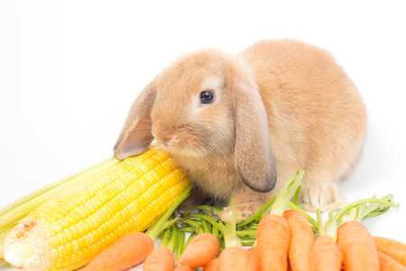 Young brown  rabbit is eating fresh yellow corn on white background