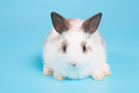 white rabbit with brown ears on blue background
