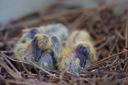Two new born pigeons in nest