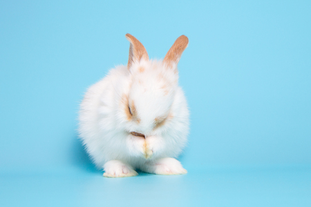 white rabbit stand on two legs on blue background