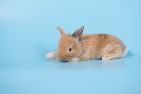 Yong small new born rabbit on blue background Stock Photo