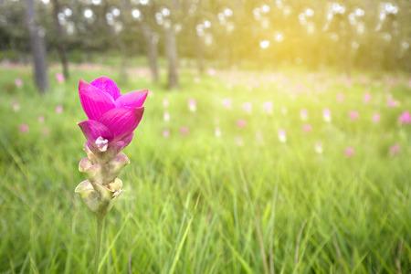 Thai pink lily flower in nature, Krajaew