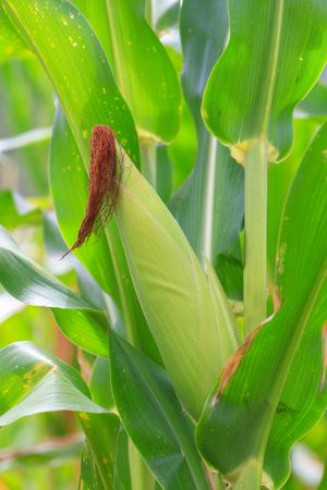 Fresh  young green growing  corn for cultivation of o--rganic in agriculture