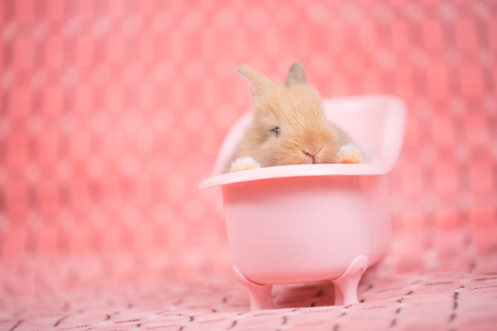 adorable young baby rabbit in pink bath tub as taking a bath on pink cloth as background  - 3 weeks old little fluffy bunny