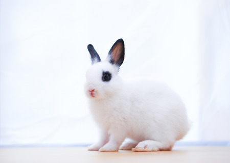 Netherlands Dwarf little adorable white rabbit with black ear and dark circle eyes on wood table. Cute small ND bunny for Easter concept Stock Photo
