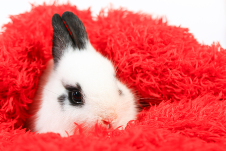 Adorable white and black small Netherlands dwarf rabbit or ND bunny on white background