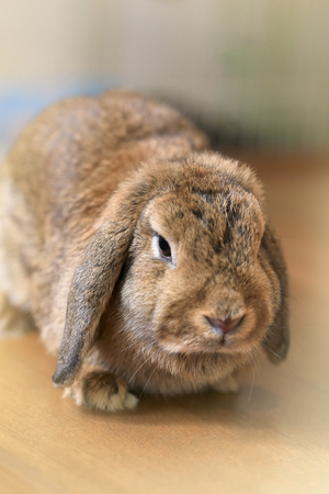 Brown Hollands Lop rabbit, furry cute big ears down from head on table with cold beverage