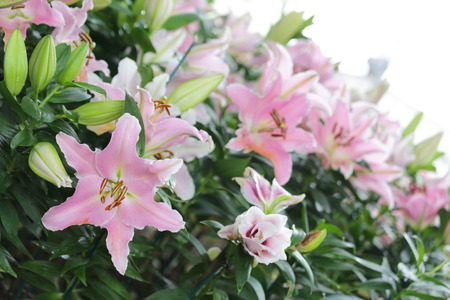 Pink fresh Lily in garden with green leaf with strong good smelling