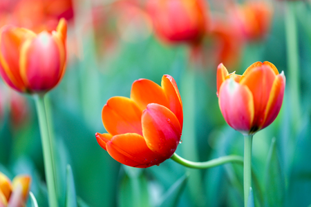 Fresh colorful beautiful tulips field in nature