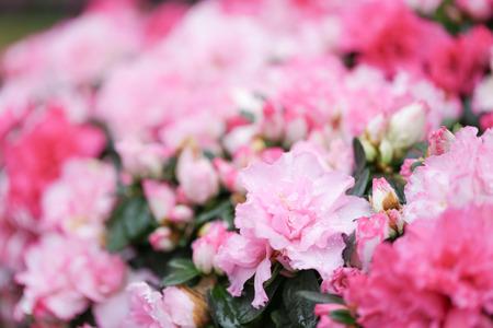 Sweety pink color flower, arzealea bush, fresh beautiful blossom in graden