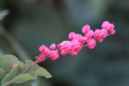 Fresh and sweet pinky oriental pattern flowers, other name is Pink Vine or Mexican Creeper with scienc name : POLYGONACEAE, Antigonon leptopus Hook. Фото со стока
