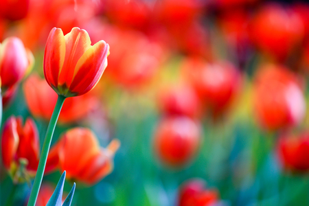 Colorful and beautiful fresh tulips with green leaf in park and nature
