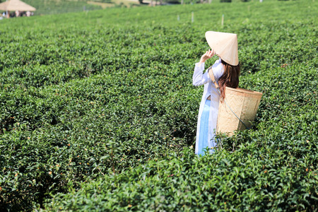 Vietnamese woman in white ao dai or Vietnamese  traditional dress with straw hat and basket working  in green tea field Banco de Imagens