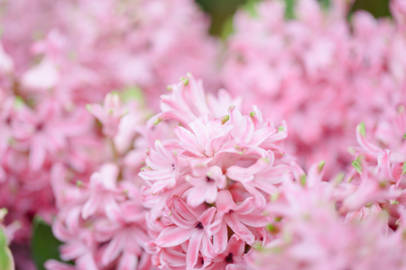 Hyacynths in garden, pink, white, purple wonder smelled flower planted in small pot. Famous for making purfume Фото со стока