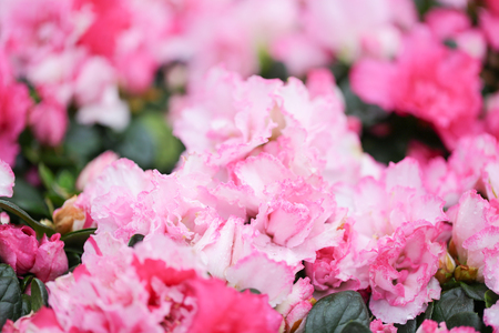 Sweety pink color flower, arzealea bush, fresh beautiful blossom in graden
