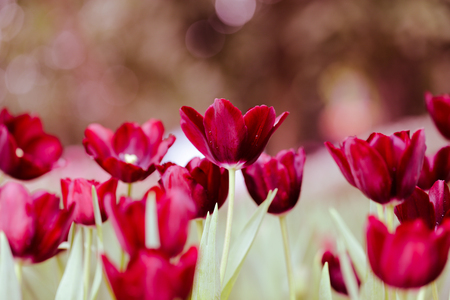 Colorful tulip field, summer flowerwith green leaf with blurred flower as background