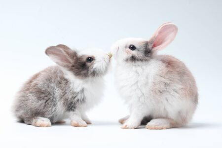 Young adorable bunny stand on white background. Cute baby rabbit for Easter and new born celebretion. Rabbit kissing