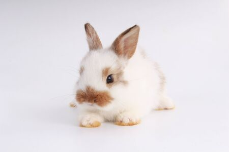 Baby adorable rabbit on white background. Young cute bunny in many action and color. Lovely pet with fluffy hair. Easter has rabbit as symbol celebration. White and brown dot rabbit Standard-Bild