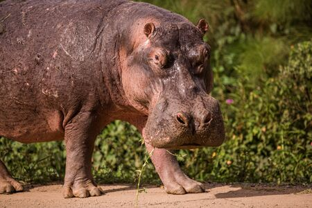 a huge Hippo walks along the road with public transport and chews grass. This is a rarity as hippos usually sit in the water during the day