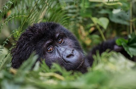 close up portrait of a black gorilla looking at you in the wild deep in the jungle
