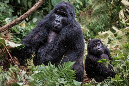Un gorila negro con un bebé masticando vegetación en la naturaleza salvaje en lo profundo de la jungla