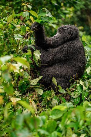 Un gorila negro masticando vegetación en lo salvaje en lo profundo de la jungla