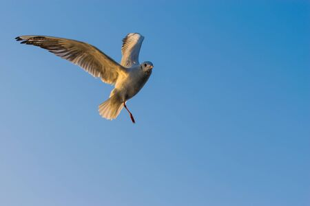 Portrait of Migratory Siberian Segull flying in the blue sky, Nigambodh Ghat in Delhi, India