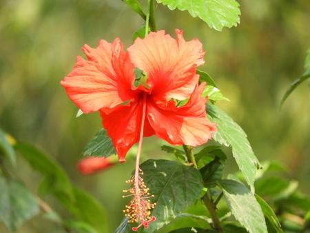Joba flower closeup photo Stock Photo