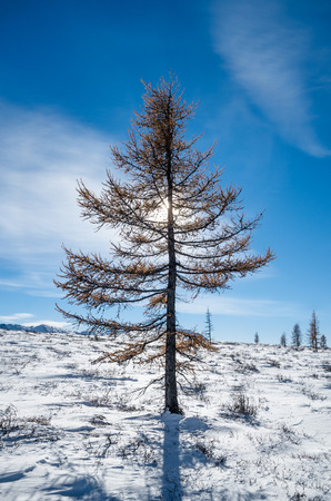 larch tree: Lonely larch tree with yellow leafs in the snow hills