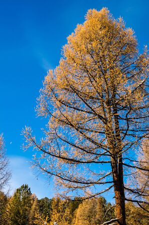 larch tree: A big yellow larch tree and a blue sky
