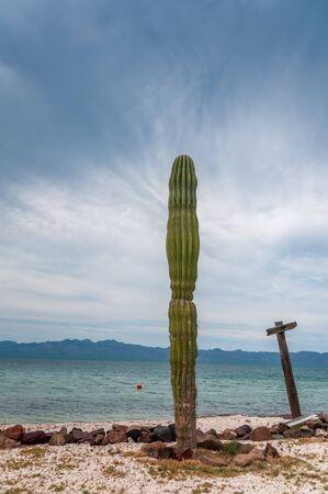 baja california: Large Cactus on Beach in Baja California, Mexico