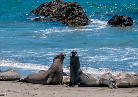 big sur: Two Elephant Seals on Beach in California