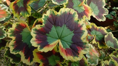 Pelargonium 'Mrs. Pollock', zonal geranium geraniums variegated leaf leaves pelargoniums garden plant plants flower flowers 版權商用圖片