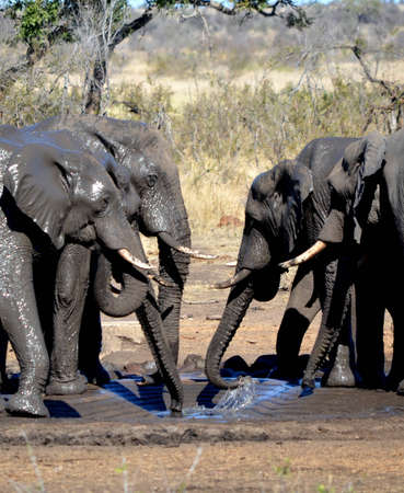 waterhole: Elephants drinking from a waterhole