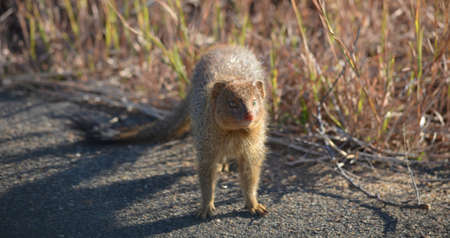 mongoose: Mongoose standing on the road