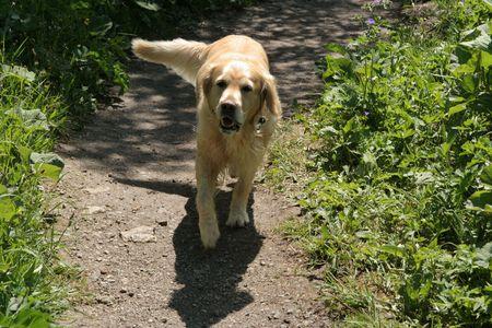 perro labrador: Friendly perro Labrador acercando