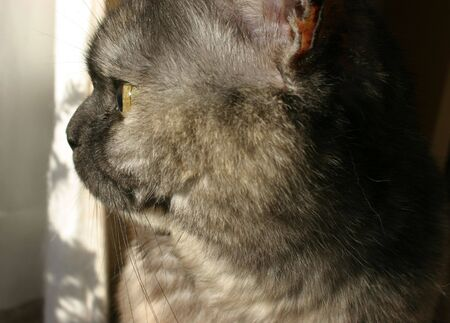 British Short Hair cat close up of side of face Stock Photo - 262605