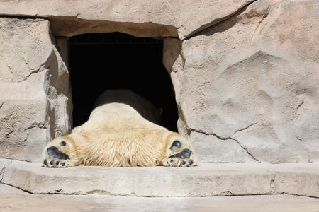A polar bear naps in the entrance to his cave photo