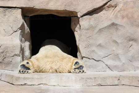A polar bear naps in the entrance to his cave photo