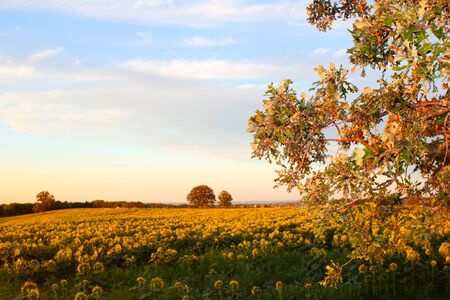 Rural farm with a crop of sunflowers photo