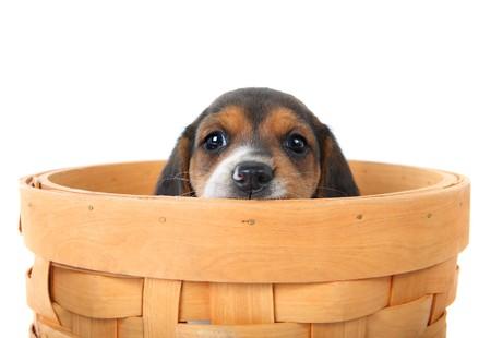 basket: a beagle puppy peeks over a basket