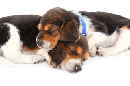two beagle puppies sleep on a white background photo
