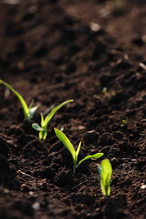 A field that has corn seedlings just starting to grow photo