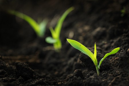 A field that has corn seedlings just starting to grow Stock Photo