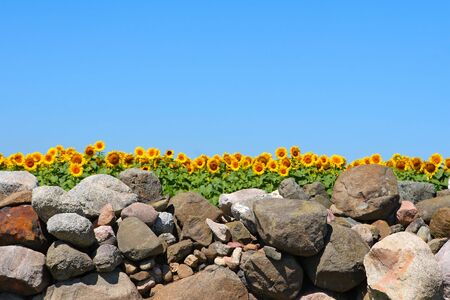 a field of sunflowers behind a stone wall with  a clear blue sky