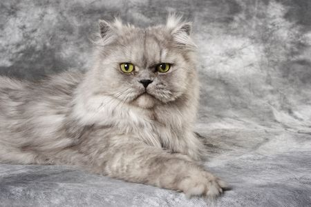 a grey Persian cat is sitting on a grey photo backdrop
