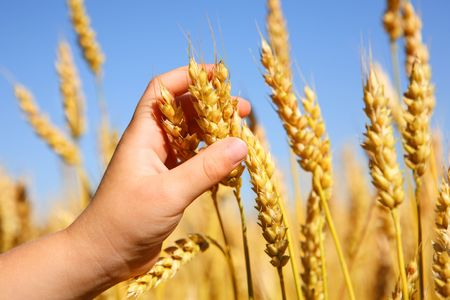 a close up of a young boys hand as he holds a bunch of wheat in a field.